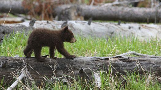 jackson hole bears